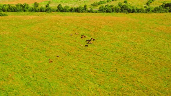 Thumbnail for Drone Flies Above Cows Outdoor