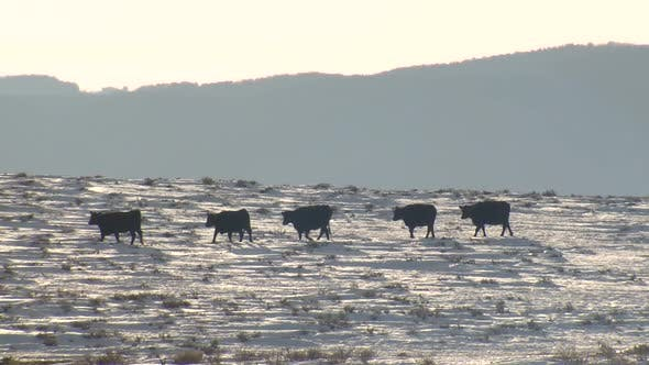 Thumbnail for Cattle Adult Herd Many Cows Walking Moving in Winter Livestock Single File Line