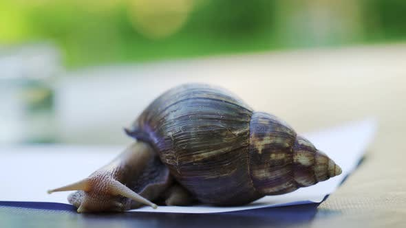 Thumbnail for Large Snail on a White Sheet of Paper