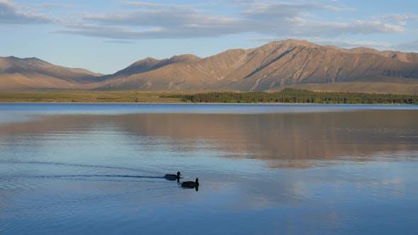 A pair of Mallard duck swim in Lake Tekapo