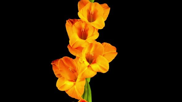 Thumbnail for Time lapse of Opening Orange Gladiolus Flower