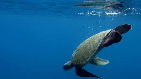 Thumbnail for Atlantic Ridley Sea Turtle Swimming in the Coral Reef