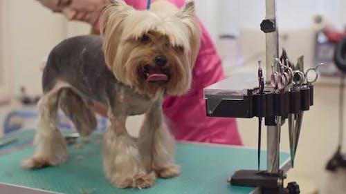 Grooming a Terrier