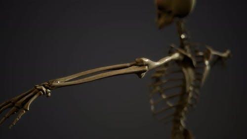 Knochen des menschlichen Skeletts