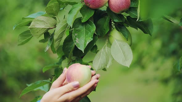 Thumbnail for Female Hand is Picking an Apple From Apple Tree