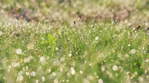 Green grass in the early morning in the dew