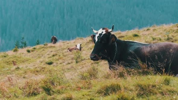 Thumbnail for Braune Kuh grasert auf einer grünen Bergwiese im Hochland. Zeitlupe