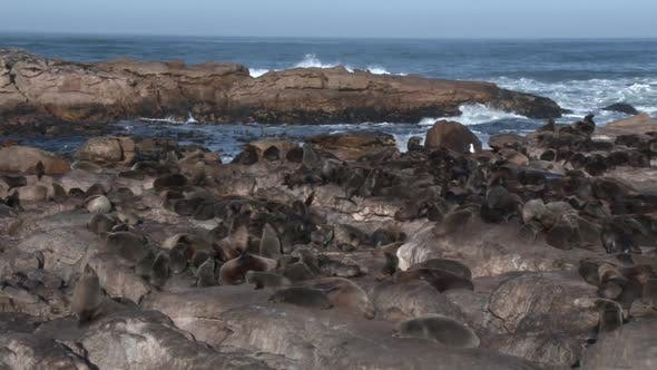 Colony of Cape Fur Seals With Ambient Sound