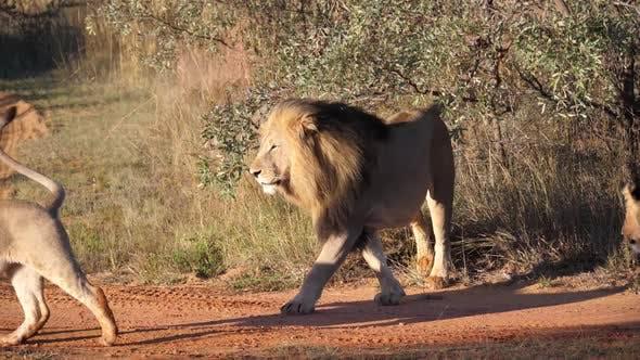 Lion herd walking away