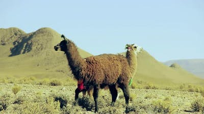 Llamas in Countryside, Bolivia, South America. 4K Version.