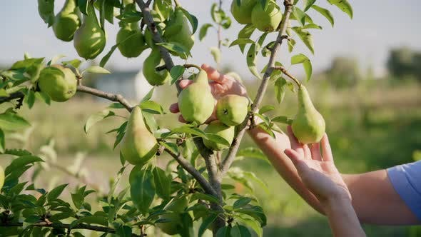 Closeup of Woman's Hand Touching Inspecting Ripening Pears on Pear Tree in Orchard