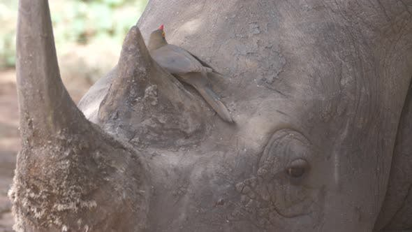 Thumbnail for Yellow-billed oxpecker resting on the head of a Rhino