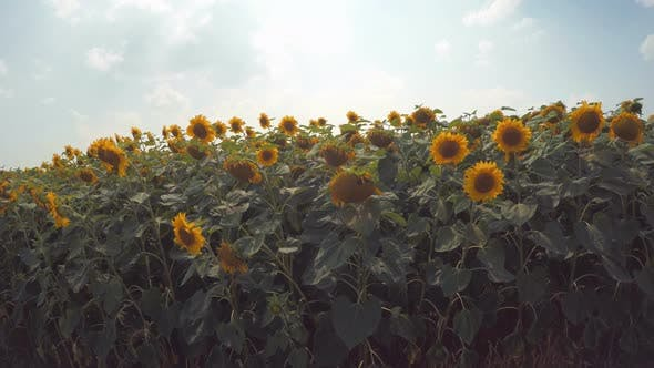 Thumbnail for Sunflower Field 3