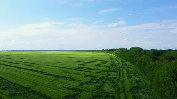 Thumbnail for Aerial View Green Wheat Field Near Forest