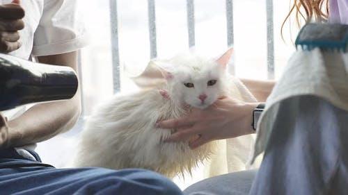Un chat domestique a été baigné et séché avec un sèche-cheveux en gros plan