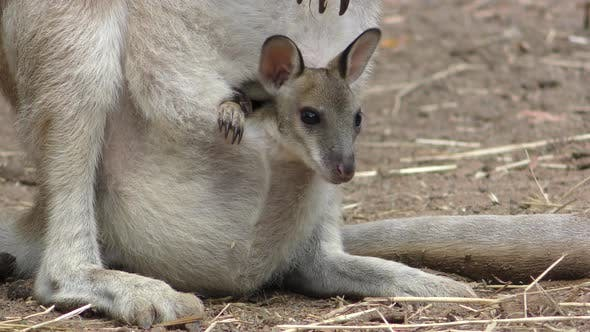 Thumbnail for Red Kangaroo Young Baby Newborn Joey Family Looking Around
