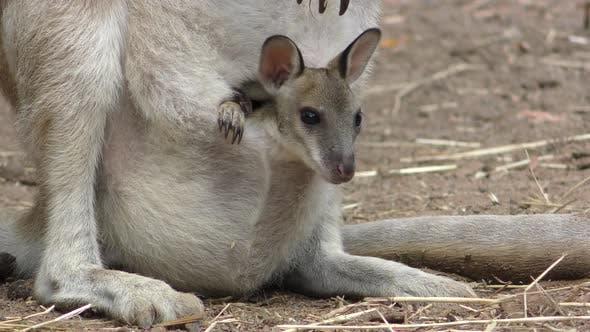 Red Kangaroo Young Baby Newborn Joey Family Looking Around