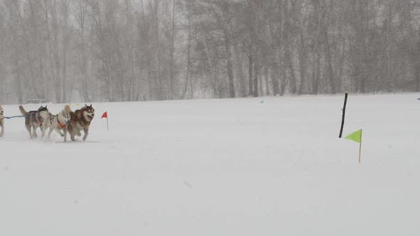 Thumbnail for Husky Dog Team Run Through the Blizzard
