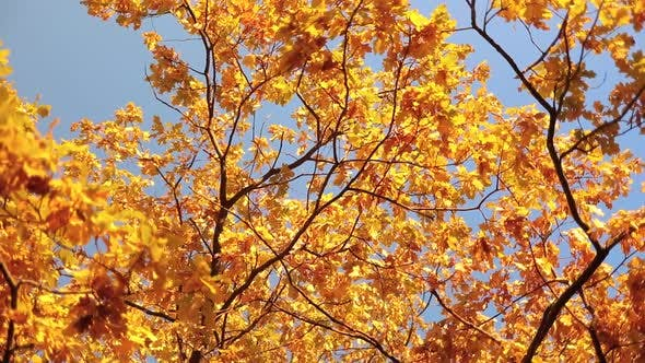 Thumbnail for Autumn Oak Leaves