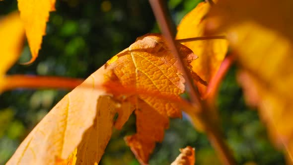 Thumbnail for Moving Along Colorful Fall Leaves Close Up
