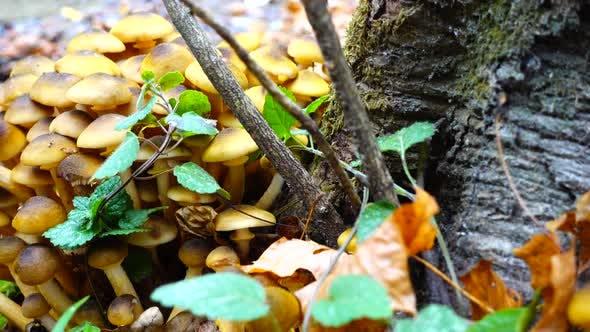 Honey Fungus Mushrooms 11