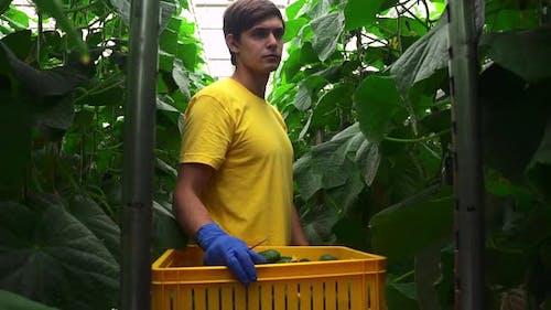 Modern Greenhousec Farmer Harvests Agriculture Cucumbers on Spbd Trolley