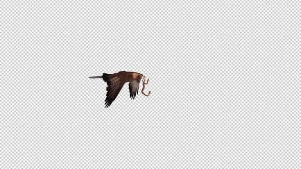 Golden Eagle With Snake - Flying Transition - I