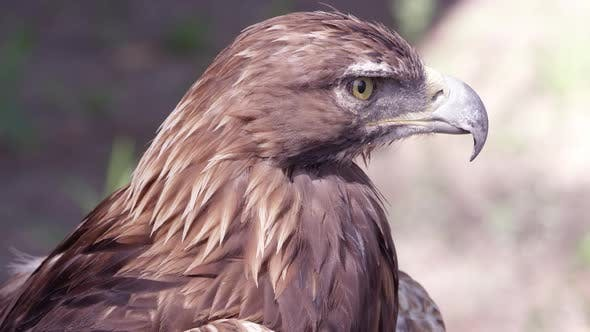 Golden Eagle staring in the distance