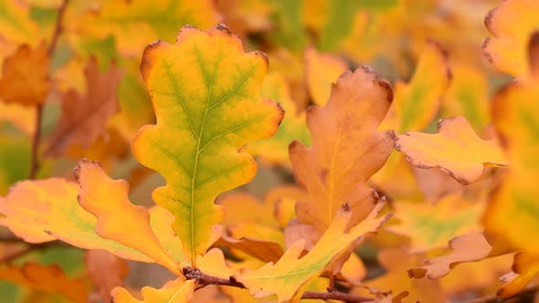Yellow autumn oak leaves in wind