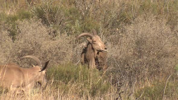 Thumbnail for Barbary Sheep Adult Eating Feeding Dry Season in Carlsbad Caverns National Park New Mexico