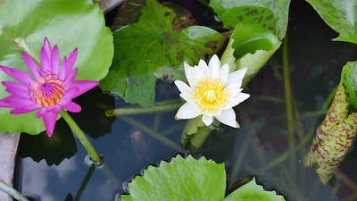 Beautiful Lotus On The Pond In The Park