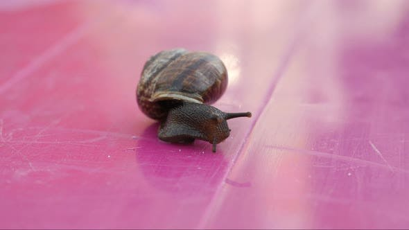 Snail On The Table, Snail Crawling The Table