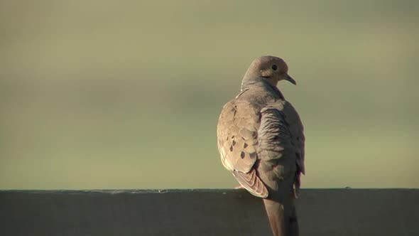 Thumbnail for Mourning Dove Adult Lone Perched Flying in Summer in South Dakota