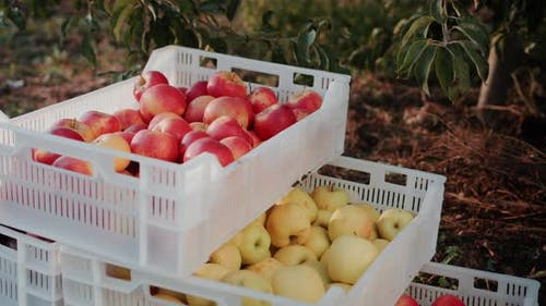 A Few Boxes of Freshly Picked Apples From the Farmer's Orchard