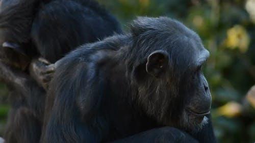 Common Chimpanzee Looking Around