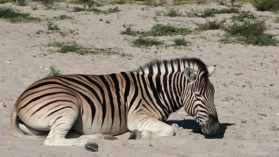 Thumbnail for Young zebra in african bush