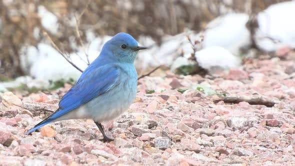 Thumbnail for Mountain Bluebird Male Adult Lone Standing in Spring Ground in South Dakota