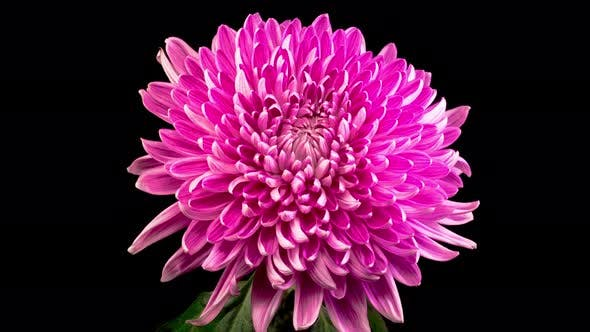 Cover Image for Beautiful Pink Chrysanthemum Flower Opening