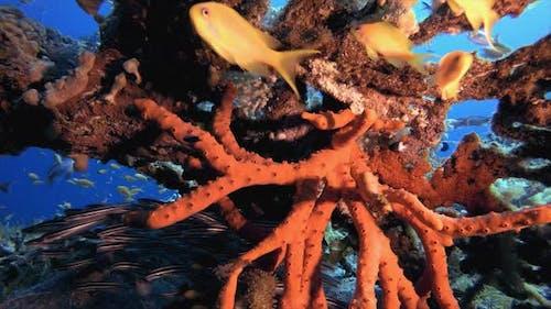 Catfish Schooling and Red Sea Sponge