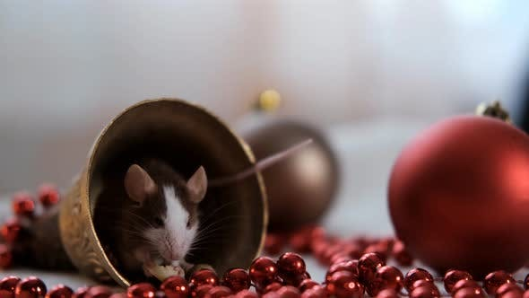 Thumbnail for Close-up of a Little Rat Eating Cheese Sitting in a Christmas Bell. Symbol of 2020 New Year