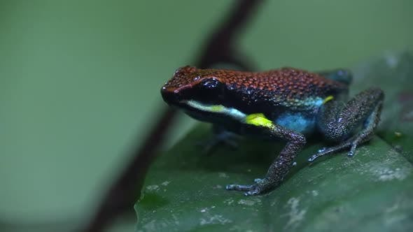 Thumbnail for Ruby Poison Dart Frog with Toxic Poison Poisonous Skin in Jungle on Leaf