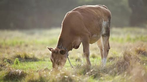 Domestic cow grazing on farm pasture with green grass.