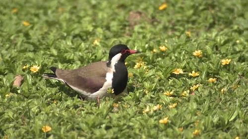 Red-wattled Lapwing Adult Lone Nesting in Spring in India