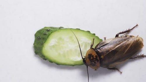 Macro of a Big Brown Cockroach Eating