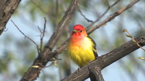 Western Tanager Male Adult Lone Perched Flying in Spring in South Dakota
