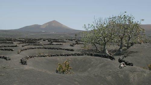 La Geria Landschaft mit einem Baum