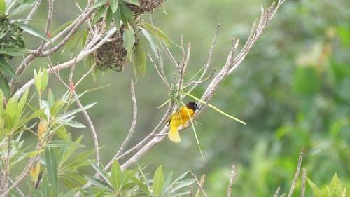 Male weaver bird starts building a nest