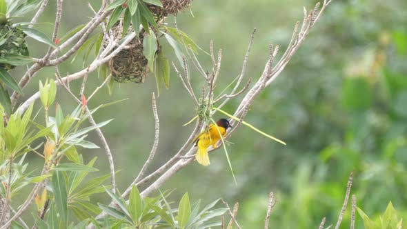 Thumbnail for Male weaver bird starts building a nest