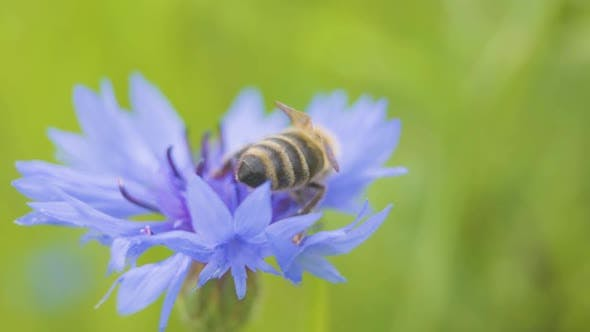 Cover Image for Macro Shooting Big Bee Sitting on the Beautiful Blue Cornflower Close Up