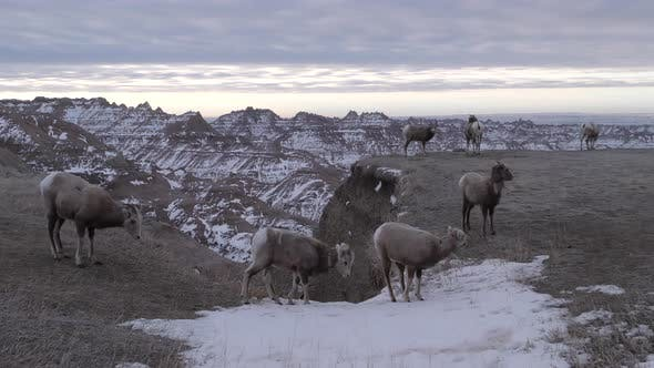 Bighorn Sheep Herd Standing Walking in Winter in Badlands National Park